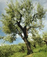 Pohon Zaitun yang banyak Terdapat di Bukit Zaitun